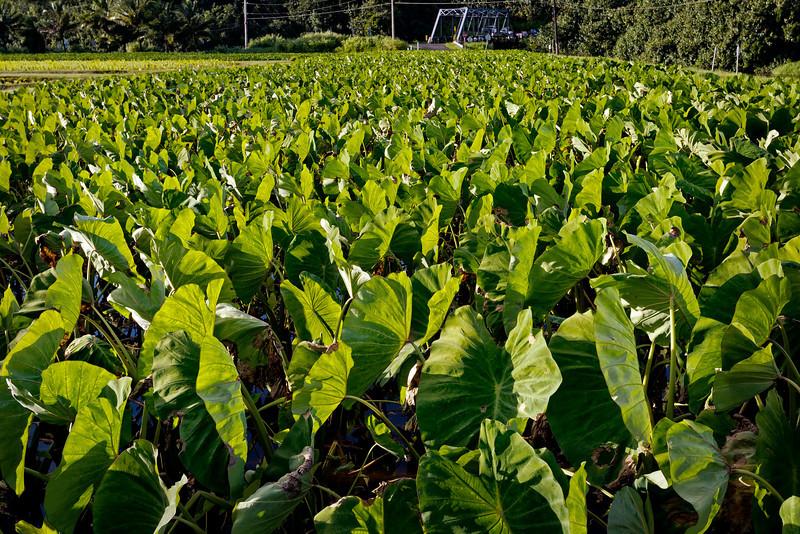 Kauai: Taro field in the Hanalei valley.