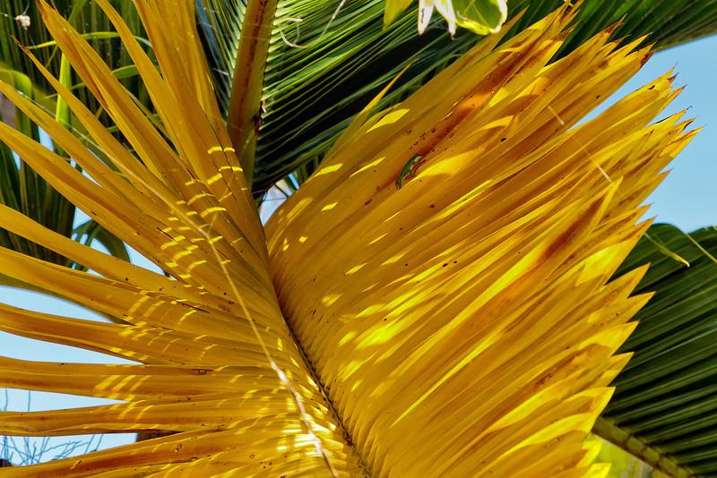 Kauai: Allerton Garden (See little anole at top of frond)