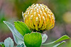 Maui:  Protea in Kula Botancial Garden