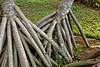 Maui:  Roots of native Hala tree