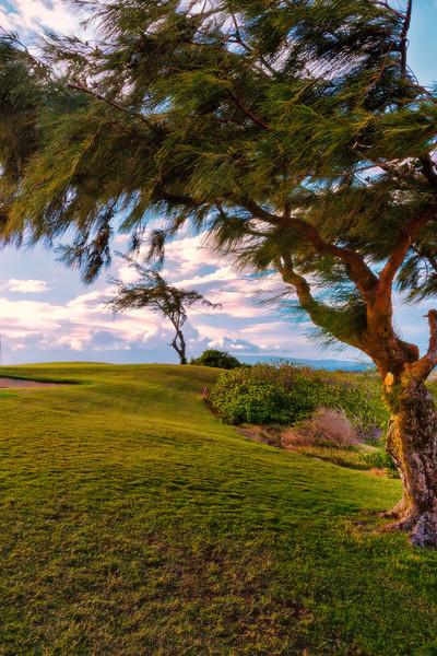 Maui:  Wind-blown pines in Kapalua.