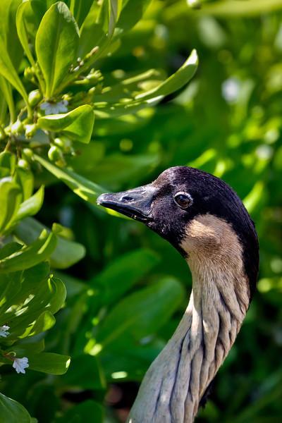 Kauai: Nene goose at  Kilauea Lighthouse
