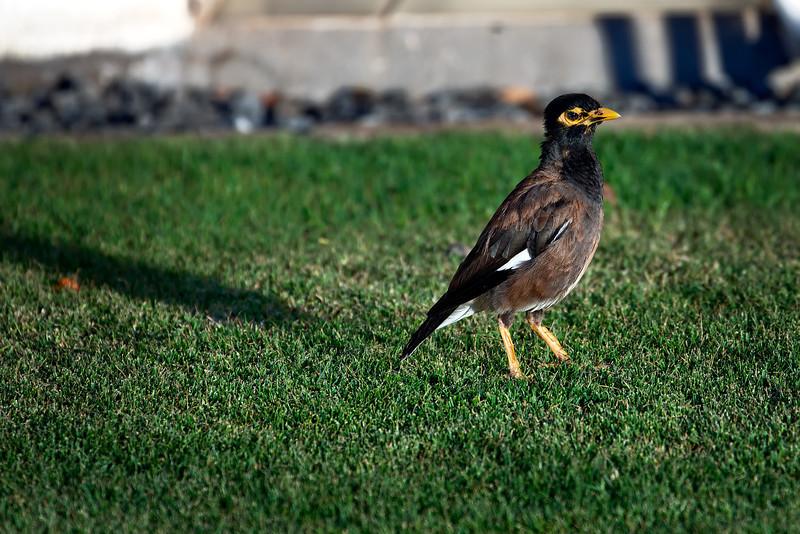 Maui:  Mynah bird