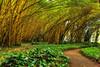Kauai: Allerton Garden (Golden Bamboo) (NTBG)