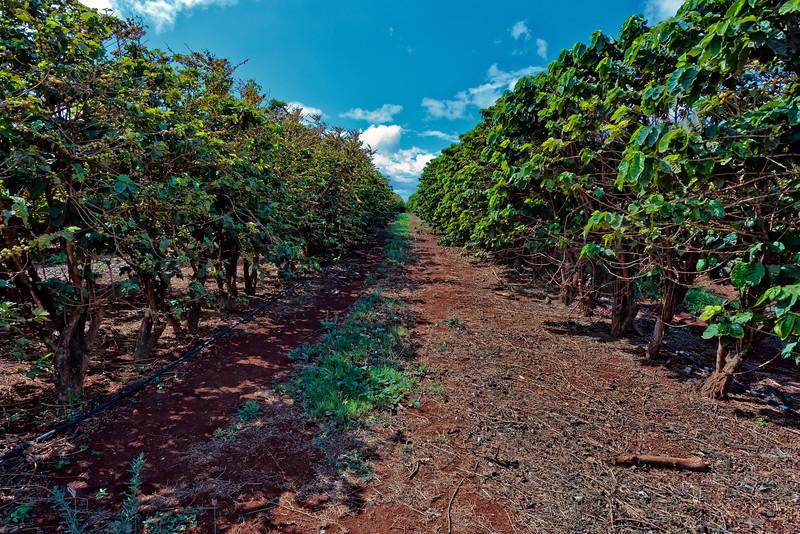 Kauai: One row of the coffee fields of the Kauai Coffee company.