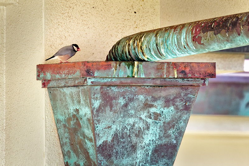 Maui:  Java Sparrow