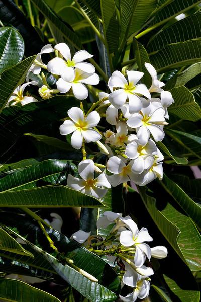 Maui:  Plumeria on the the grounds of Westin Villas.