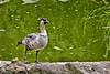 Maui:  Nene goose in Kula Botanical Garden