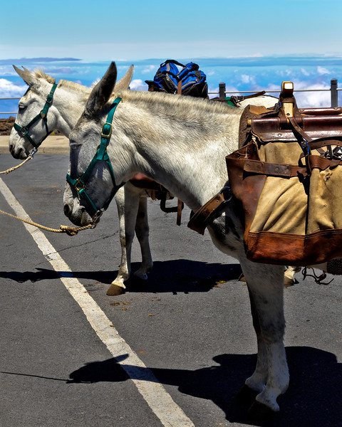 Maui:  Pack Mules belonging to the National Park patiently wait to accompany hikers through the trails of Haleakala Volcano.