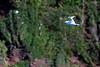 Kauai: Koa'e 'ula (Red-tailed tropicbird) near Kilauea Lighthouse