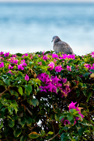Maui:  Spotted Dove on pink bougainvillea on Ka'anapali Beach