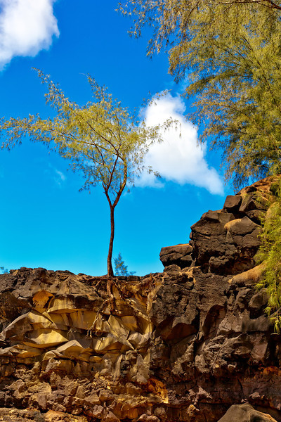 Kauai: Tree growing out of lava rock.