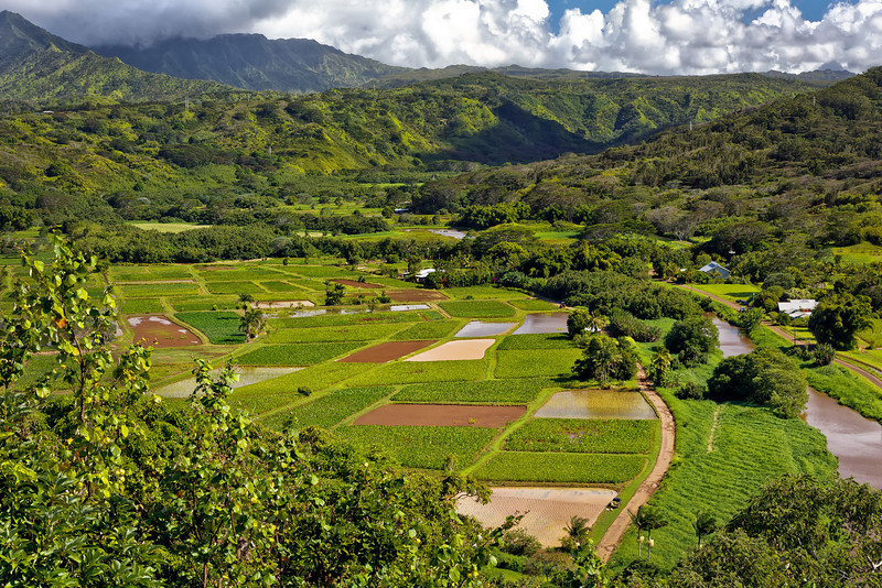 Kauai: Taro fields in Hanalei valley.
