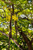 Kauai: Vanilla orchid hanging from tree, Allerton Garden (NTBG)