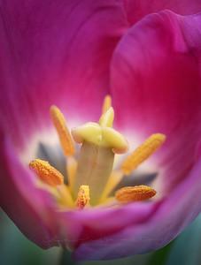 Tulip's secret