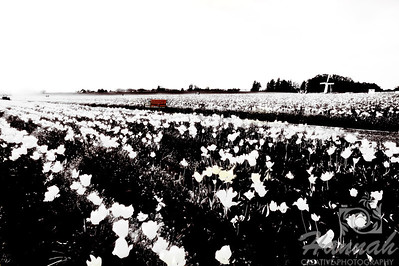 A monochrome shot of a tulip field with the bench in colored taken at Wooden Shoe Tulip Farm in Woodburn, OR  © Copyright Hannah Pastrana Prieto