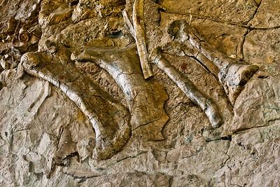 Camarasaurus Fossils