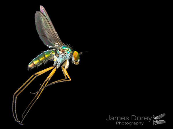 Blue-greened Long Legged Fly (Austrosciapus sp.)