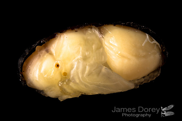 Parasitoid fly pupae