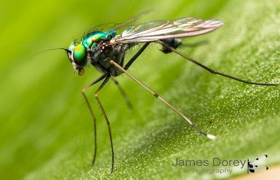 Large Green Long Legged Fly (Chrysosoma leucopogon)
