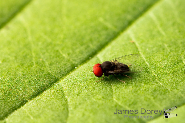 male flat-footed fly (Platypezidae sp.)