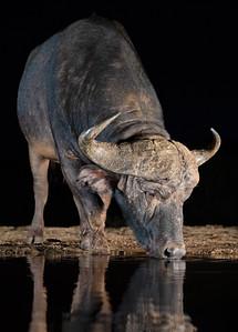 Wild Cape Buffalo Late Night Drinking