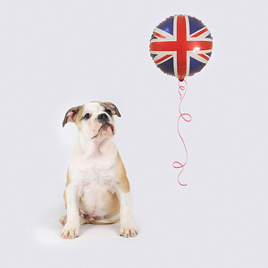 British Bulldog with Union Flag Balloon