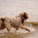 Brown Roan Italian Spinone Dog