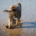 Mutts in the Mud - Beach beauty treatments for Spinone
