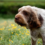 Brown Roan Italian Spinone