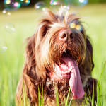 Brown Roan Italian Spinone Dog Head Shot