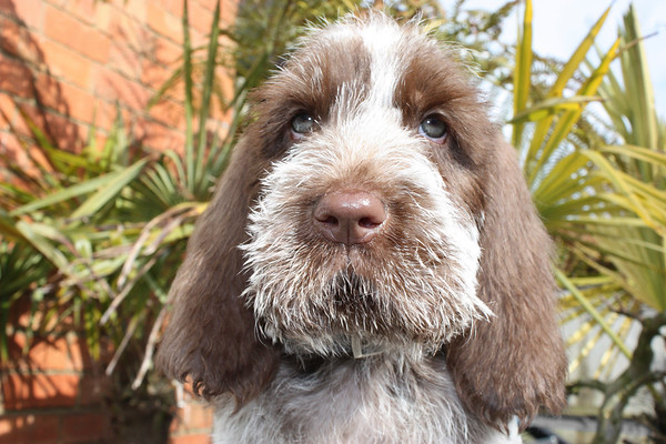 Brown Roan Italian Spinone Puppy