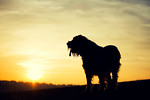 Brown Roan Italian Spinone Dog Sunset