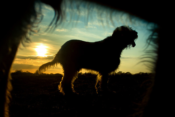 Canine Sunset Silhouettes