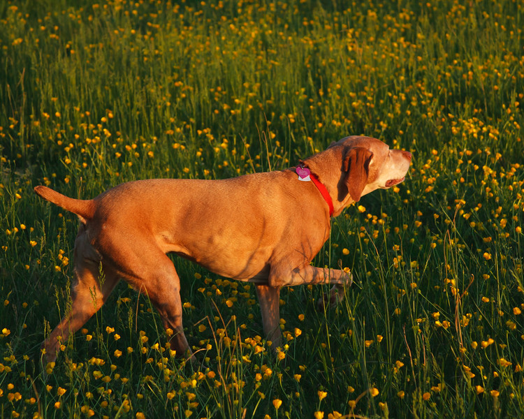 Szyszka stalking in the buttercups
