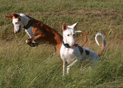 Ibizan Hound hunting