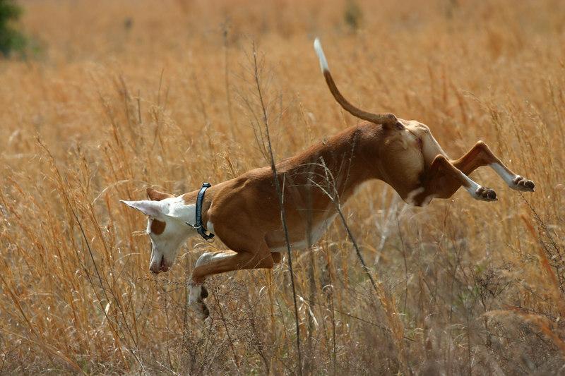 003 - Naboo my Ibizan Hound hunting