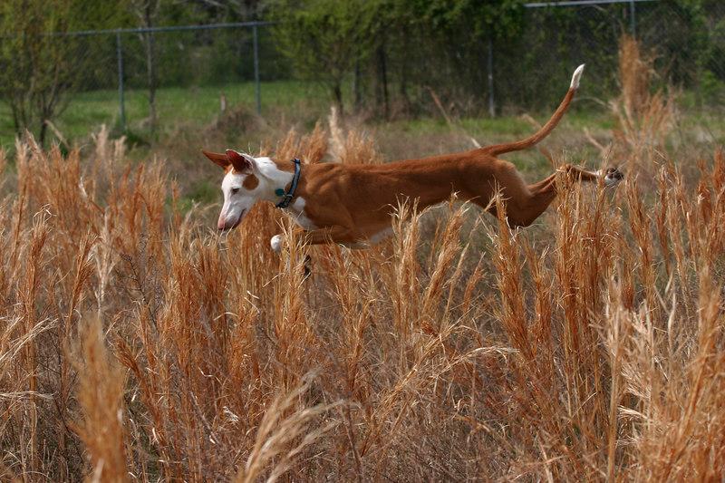 005 - Naboo my Ibizan Hound Hunting