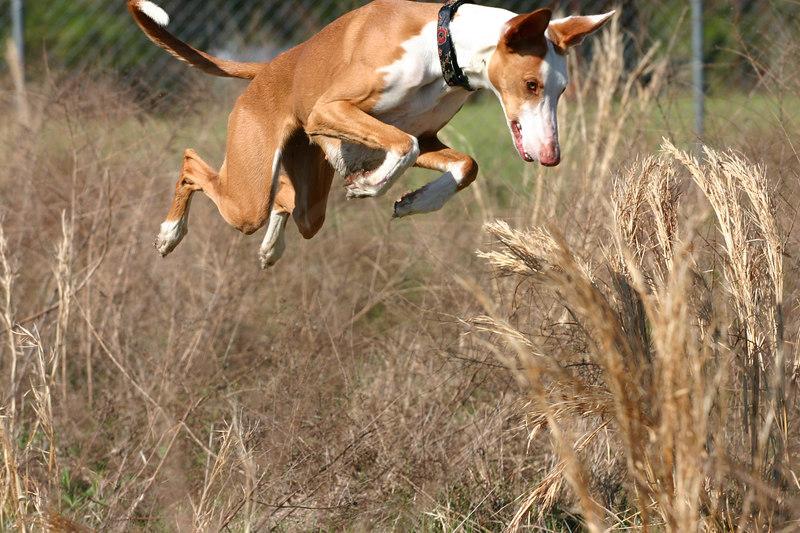 002 - Naboo my Ibizan Hound hunting