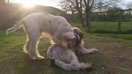 Italian Spinone Animations