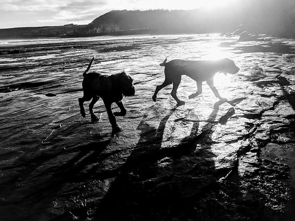 Italian Spinoni Puppy Silhouettes at the beach