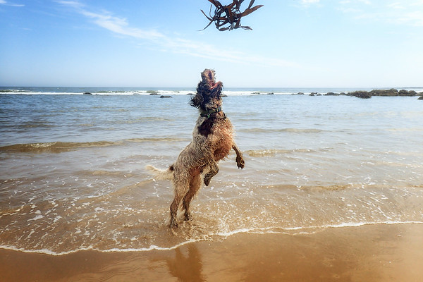 Brown Roan Italian Spinone at the beach