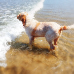 Orange & White Italian Spinone at the beach