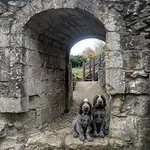 "Italian Spinone ""Alfred and Walter"" at Rievaulx Abbey"