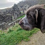 "Italian Spinone ""Walter"" surveys Rievaulx Abbey"