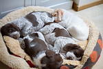 Juniperdell Italian Spinone Puppies