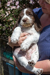 Juniperdell Italian Spinone Puppies - Pappy