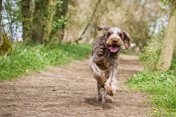 Luca ~ Brown Roan Italian Spinone