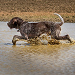 Nico ~ Brown Roan Italian Spinone