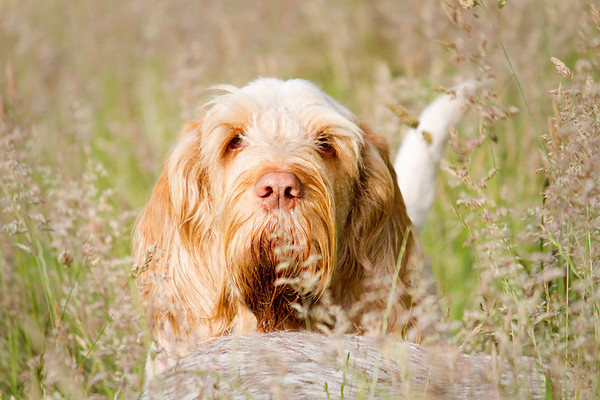 Orange & White Italian Spinone